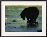 Black Bear Perched on Rock Watching for Fish Framed Photographic Print by Joel Sartore