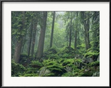Moosbedeckte Felsen an einem bewaldeten Hang im Dunst Gerahmter Fotografie-Druck von Norbert Rosing