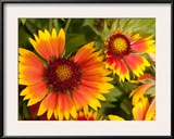 Close Up of Blanket Flowers, Gaillardia Species Framed Photographic Print by Darlyne A. Murawski