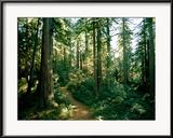 James P. Blair - Woodland Path Winding Through a Grove of Sequoia Trees Zarámovaná reprodukce fotografie