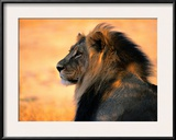 Adult Male African Lion Framed Photographic Print by Nicole Duplaix