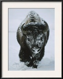 A Frost-Covered American Bison Bull Walks Through the Snow Framed Photographic Print by Tom Murphy