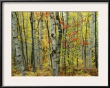 An Autumn View of a Birch Forest in Michigans Upper Peninsula Framed Photographic Print by Medford Taylor