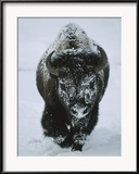 Tom Murphy - A Frost-Covered American Bison Bull Walks Through the Snow Zarámovaná reprodukce fotografie