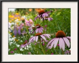 Purple Coneflower and Other Flowers in a Cape Cod Garden Framed Photographic Print by Darlyne A. Murawski