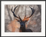 Portrait of a Red Deer Buck, Cervus Elaphus, in Winter Gerahmter Fotografie-Druck von Alex Saberi