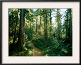 Woodland Path Winding Through a Grove of Sequoia Trees Framed Photographic Print by James P. Blair