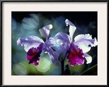 Orchids Framed Photographic Print by Medford Taylor