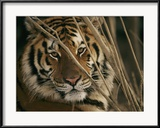 A Captive Tiger Shows a Formidable Expression Ingelijste fotodruk van Roy Toft
