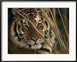 Kopf eines Tigers aus dem Zoo Gerahmter Fotografie-Druck von Roy Toft