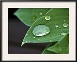 Water Droplets on a Blue Cadet Hosta Leaf Framed Photographic Print by Brian Gordon Green