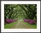 Ein wunderschöner, mit Bäumen und violetten Azaleen gesäumter Weg  Gerahmter Fotografie-Druck von Sam Abell