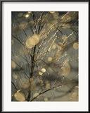 Raymond Gehman - The Frozen Branches of a Small Birch Tree Sparkle in the Sunlight, Waynesboro, Pennsylvania Zarámovaná reprodukce fotografie