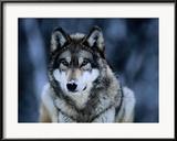 Grauwolf im Internationalen Wolfzentrum nahe Ely Gerahmter Fotografie-Druck von Joel Sartore