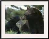 Captive American Black Bear and Cub Framed Photographic Print by Norbert Rosing