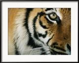 Michael Nichols - Close View of an Indian Tiger Zarámovaná reprodukce fotografie