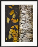 Leaves Float Past a Fallen Birch Gerahmter Fotografie-Druck von Michael Melford