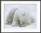 Konrad Wothe - Polar Bear (Ursus Maritimus) Sleeping, Hudson Bay, Canada Zarámovaná reprodukce fotografie