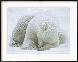 Polar Bear (Ursus Maritimus) Sleeping, Hudson Bay, Canada Gerahmter Fotografie-Druck von Konrad Wothe