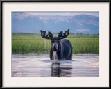Water Pours from the Antlers of a Bull Moose Lifting His Head from Beaverdam Creek Framed Photographic Print by Tom Murphy