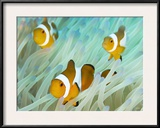 False Clown Anemonefish on an Anemone, Sabonan Island Framed Photographic Print by Mauricio Handler
