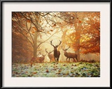 Four Red Deer, Cervus Elaphus, in the Forest in Autumn Framed Photographic Print by Alex Saberi