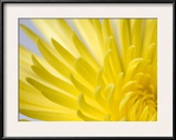 Close Up of the Petals of a Yellow Chrysanthemum Flower Framed Photographic Print by Vickie Lewis