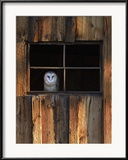 A Barn Owl, Tyto Alba, in the Window of a Barn Gerahmter Fotografie-Druck von Robbie George