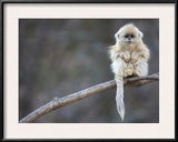 A Golden Snub-Nosed Monkey Infant Perches in a Highland Forest Framed Photographic Print by Cyril Ruoso