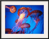 Fleet of Golden, Long-Tentacled Jellyfish, California Framed Photographic Print by Sisse Brimberg