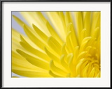Vickie Lewis - Close Up of the Petals of a Yellow Chrysanthemum Flower Zarámovaná reprodukce fotografie