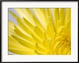 Close Up of the Petals of a Yellow Chrysanthemum Flower Gerahmter Fotografie-Druck von Vickie Lewis