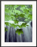 Maple Leaves against a Waterfall Backdrop Ingelijste fotodruk