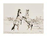 Dueling Horses Pencil Art by Barry Hart