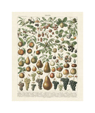 Fruits II Lámina giclée por Adolphe Millot