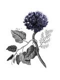 Allium Botanical Art by Heather Johnston