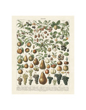 Fruits II Posters by Adolphe Millot