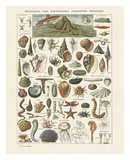 Mollosques I Lámina por Adolphe Millot