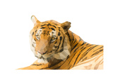 Low Poly Image of Tiger Isolated on White Background with Clipping Path Posters by  nantapok