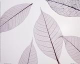 Sheer Leaves I Prints