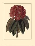 Rhododendron Rojo Prints by Rafael Landea