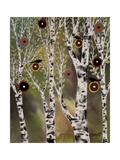 Birches 1 Affiches par Karla Gerard