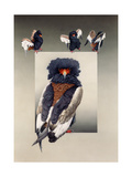 Bateleur (African Eagle) Posters by Harro Maass