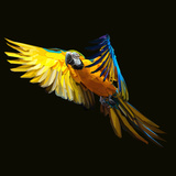 Yellow Tropical Parrot Flying to Exotic Freedom on Dark Background Poster di  mid92