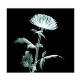X-Ray Image Flower Isolated on Black , the Pompon Chrysanthemum Poster by  the_lightwriter