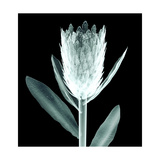 X-Ray Image of a Flower Isolated on Black , the King Protea Prints by  the_lightwriter