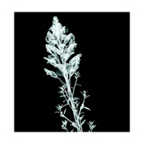 X-Ray Image Flower Isolated on Black , the Antirrhinum Snapdrago Premium Giclee Print by  the_lightwriter