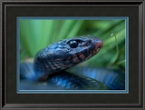 Close Up Portrait of an Indigo Snake Framed Photographic Print by Carlton Ward