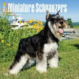 Schnauzers, Miniature - 2017 Calendar - Takvimler