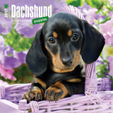 Dachshund Puppies - 2017 Calendar Calendars